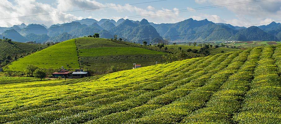 moc-chau-caj-plantaze-vietnam