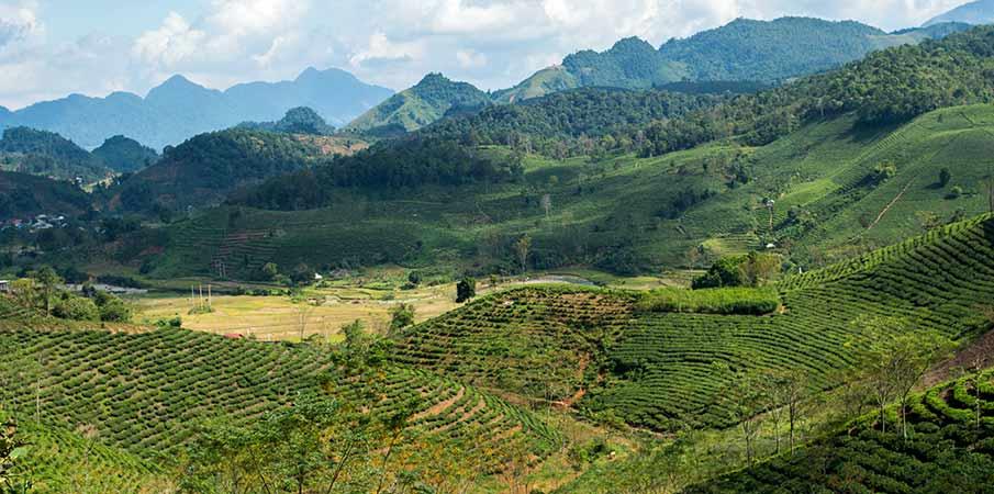 cajove-plantaze-chieng-khoa-vietnam